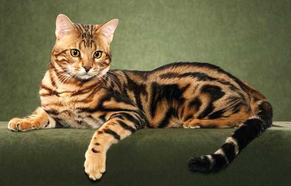 Бенгальская кошка лежит