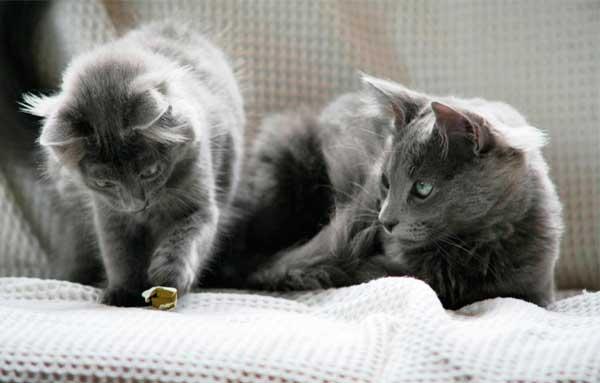 Кошка и котенок Нибелунг