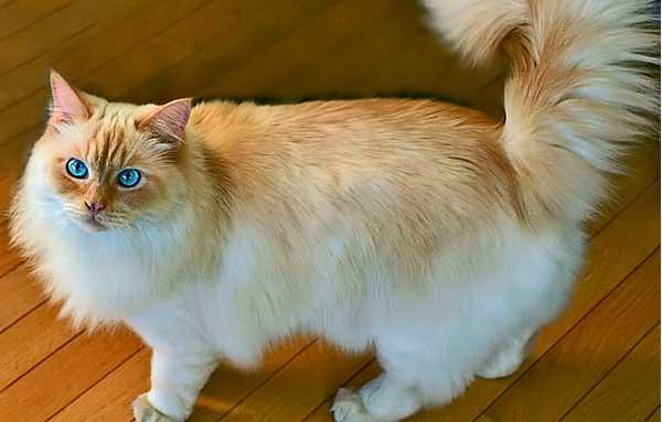 Голубоглазый Рагамаффин с поднятым хвостом