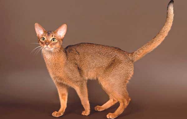 Абиссинская кошка в профиль с поднятым хвостом