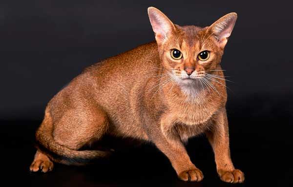 Абиссинская кошка в настороженной позе