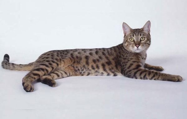 Блестящая Калифорнийская кошка