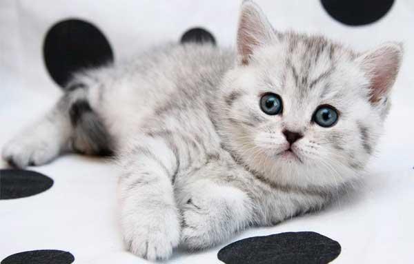 Котенок Британской породы кошек лежит
