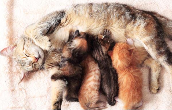 Корма для кормящей кошки