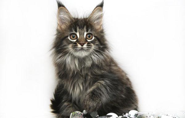 Чем можно кормить кота мейн куна