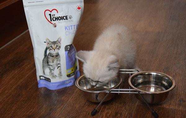 Шотландский котенок ест сухой корм