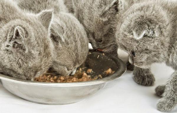 Кормление шотландских котят натуральным питанием