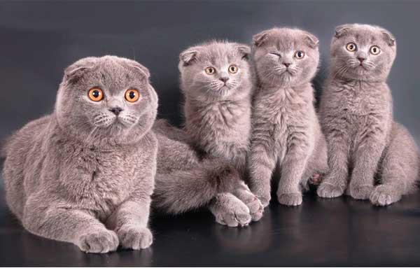 Шотландская вислоухая кошка со своими котятами