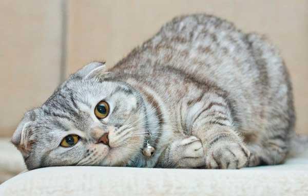 Шотландский вислоухий кот лежит на диване