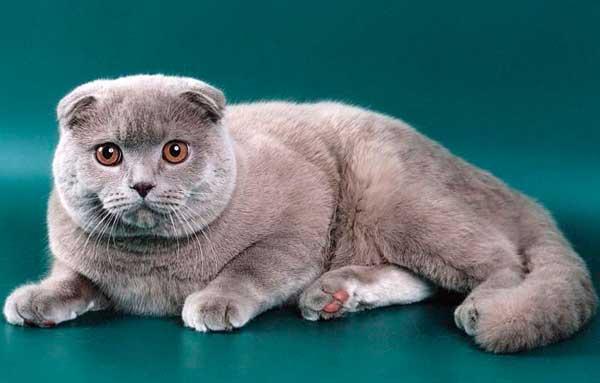 Пепельная Шотландская вислоухая кошка лежит