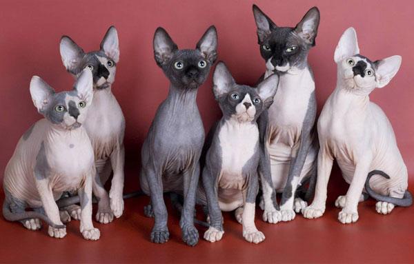 Кошки породы Канадский сфинкс