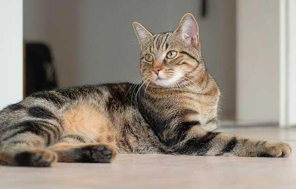Кельтская кошка в позе, полной достоинства