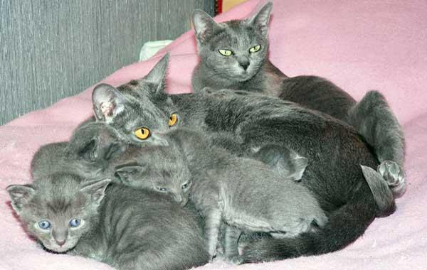 Кошка Корат с котятами