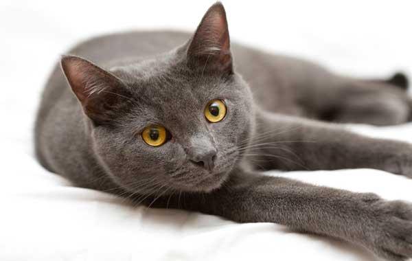 Кошка породы Корат на боку