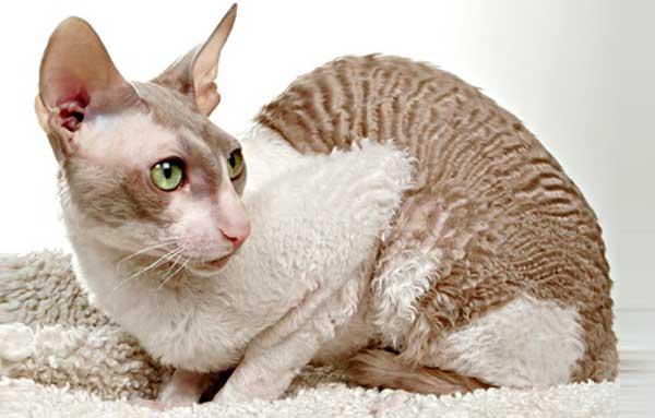 Кошка породы Корниш-рекс сидит