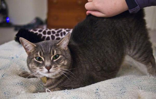 Кошка во время течки