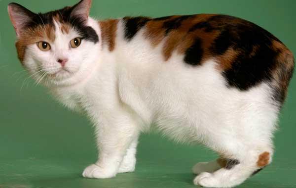 Кошка Мэнкс с трехцветной спинкой и белыми грудкой и животом