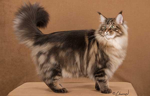 Кот Мейн-кун окраса табби демонстрирует роскошный хвост