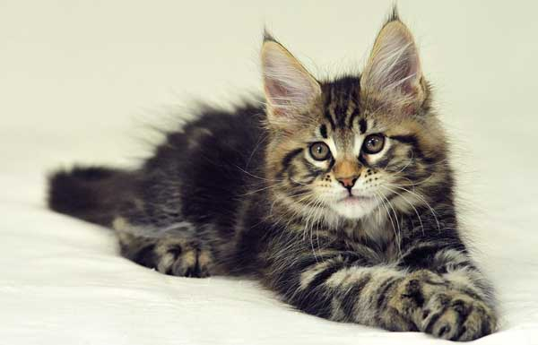Полосатый котенок Мейн-куна лежит