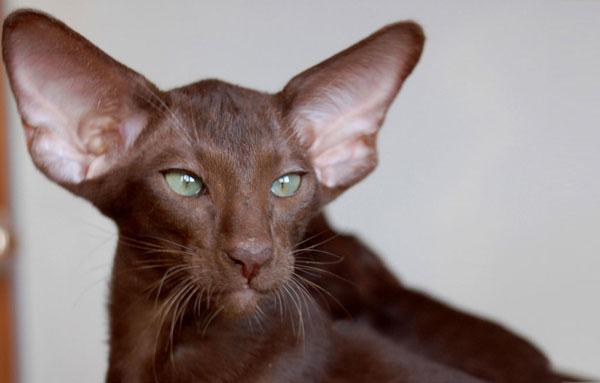 Кот Ориентальной породы