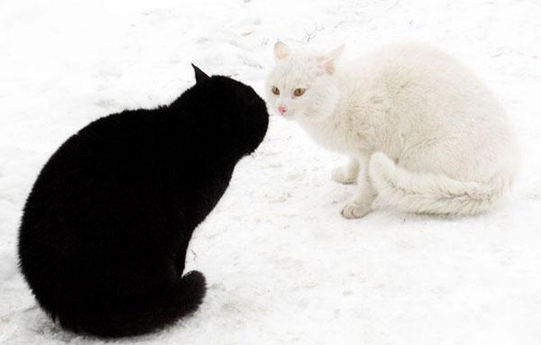 Коты-соперники