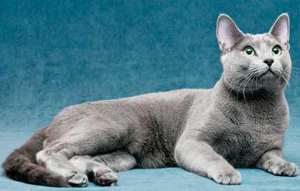 Кошка породы русская голубая лежит