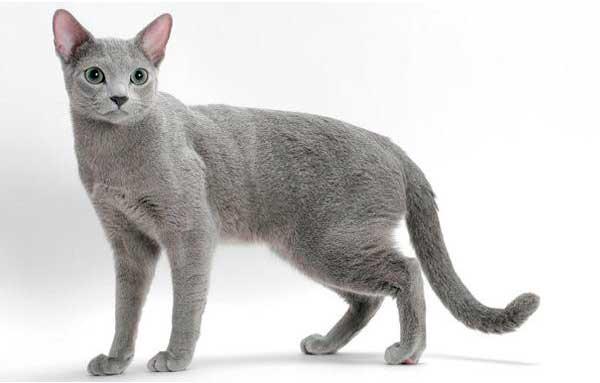 Русская голубая кошка стоит