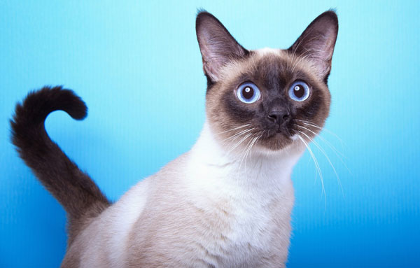 Кот Сиамской породы