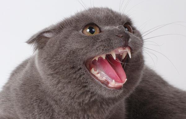 Зубы кошки