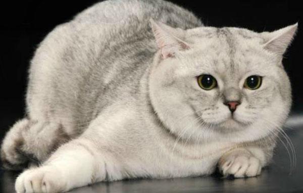 кот породы Скоттиш-страйт