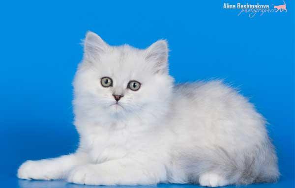 Белый котенок Хайленд страйт