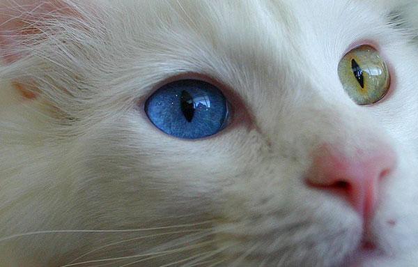 Глаза Ангорской кошки