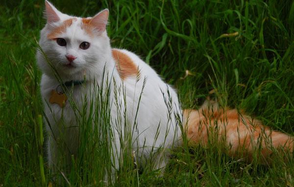 Турецкая Ванская кошка