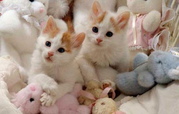 Котята Турецкой Ванской кошки