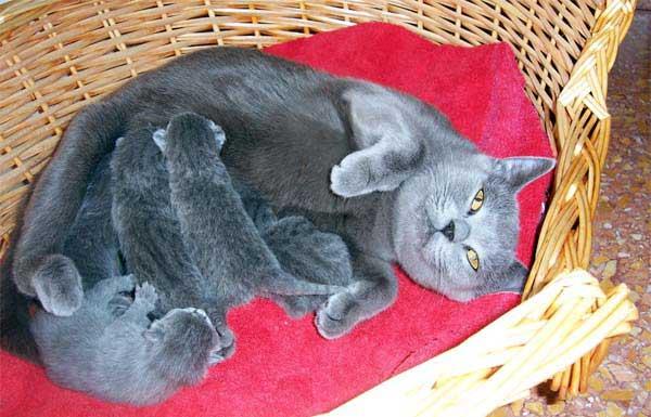 Кошка породы Шартрез с новорожденными котятами