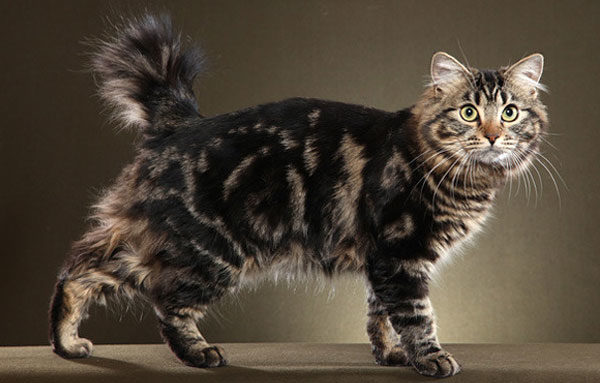 Кошка Американский бобтейл