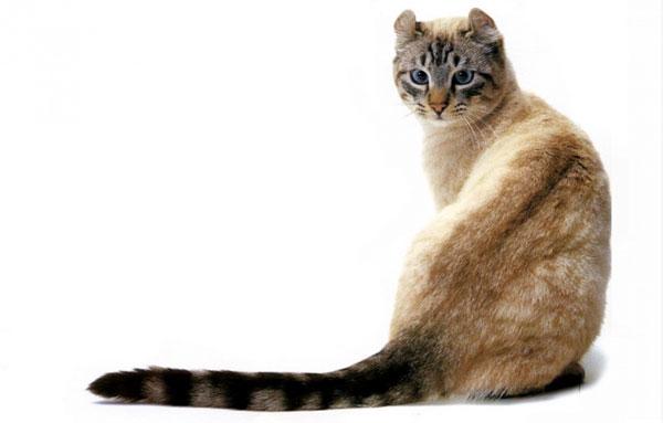 Кот породы Американский керл