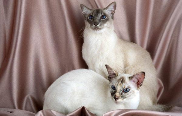 Кошки Балийской породы