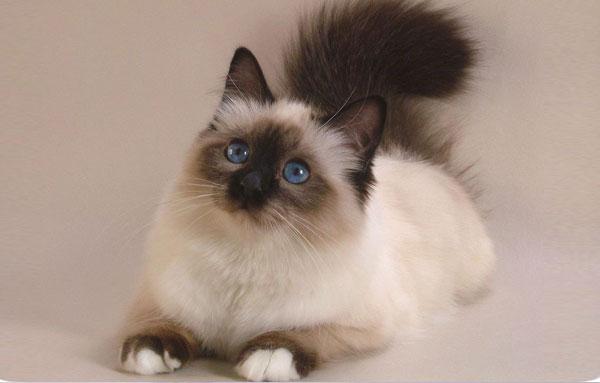 Кошка Бирманской породы