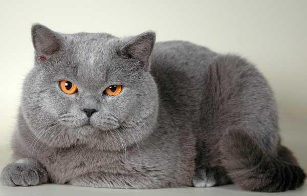 Британский кот пепельного окраса с оранжевыми глазами