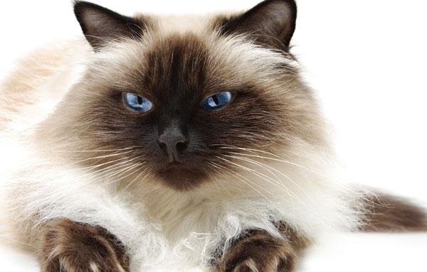 Гималайский кот
