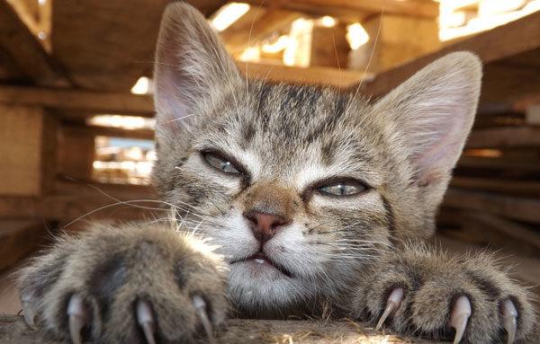 Котенок с когтями