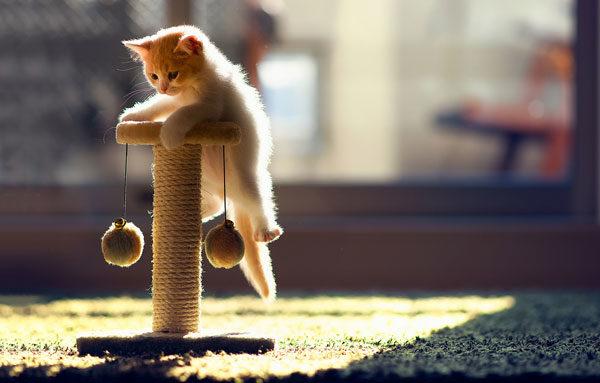 Как приучит котенка к когтеточке
