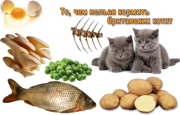 Этим кормить британских котят нельзя