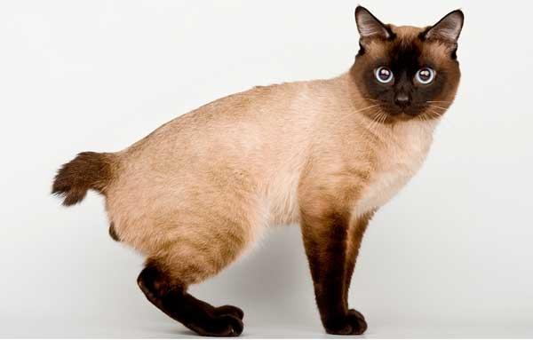Кошка Меконг бобтеейл демонстрирует экстерьер