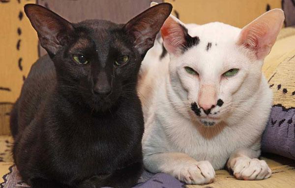 Ориентальные коты