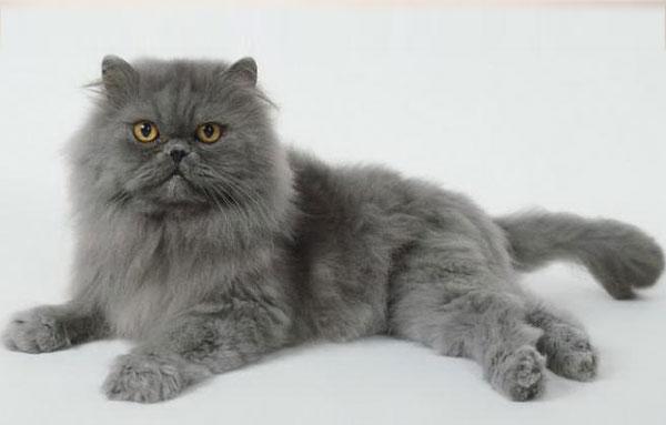 Кот Персидской породы