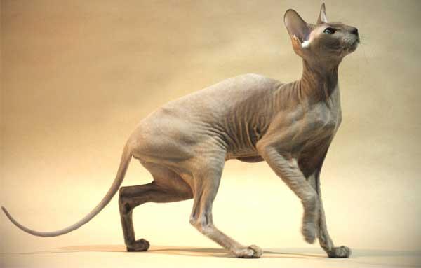 Кошка Петерболд в профиль