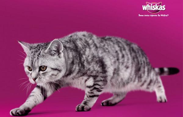Порода кошек вискас