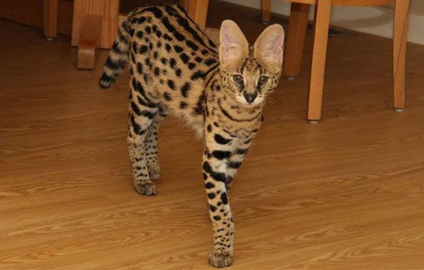 Кот породы Сервал